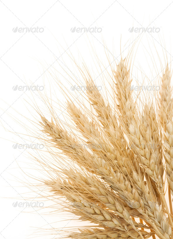ripe ears of barley isolated on white - Stock Photo - Images