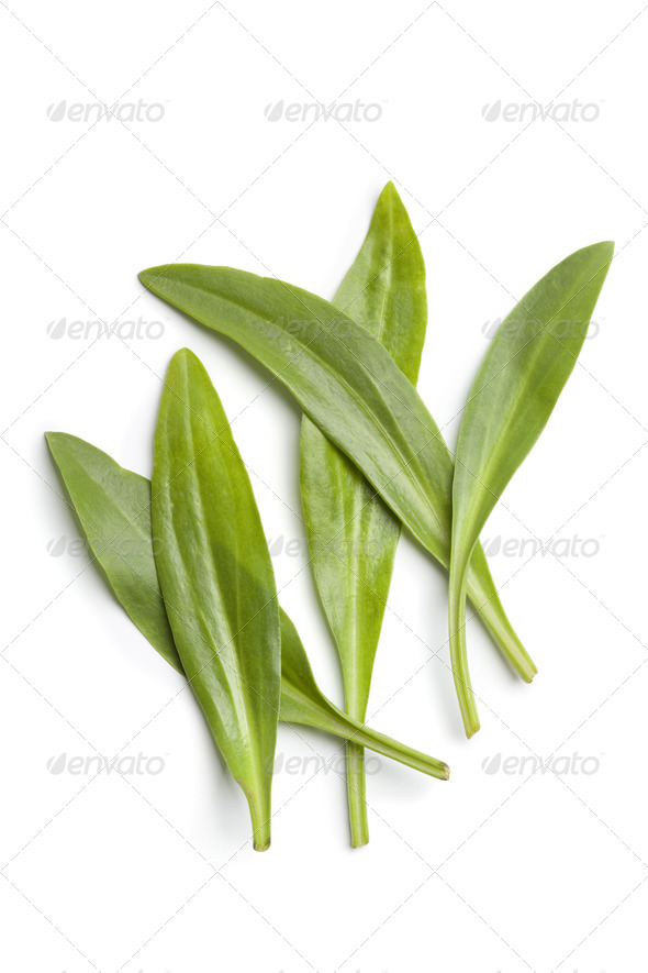Fresh Sea aster leaves - Stock Photo - Images