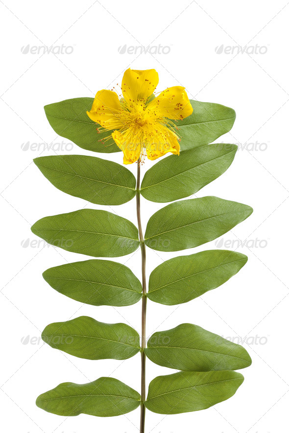 St John's wort flower and leaves - Stock Photo - Images