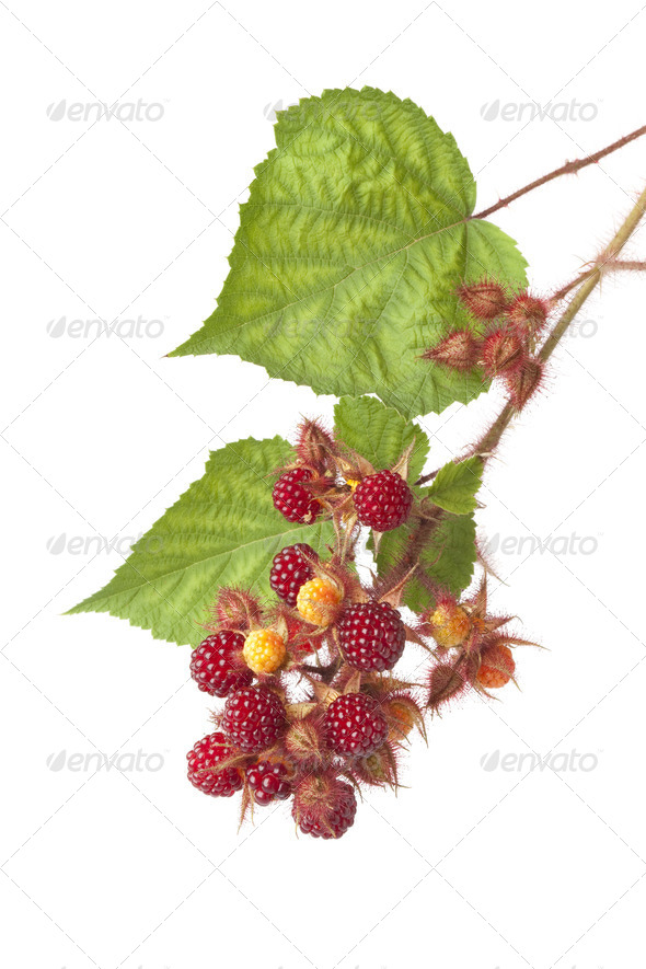 Branch of a Japanese Wineberry - Stock Photo - Images