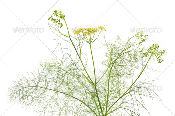 Flowering fenne - Stock Photo - Images