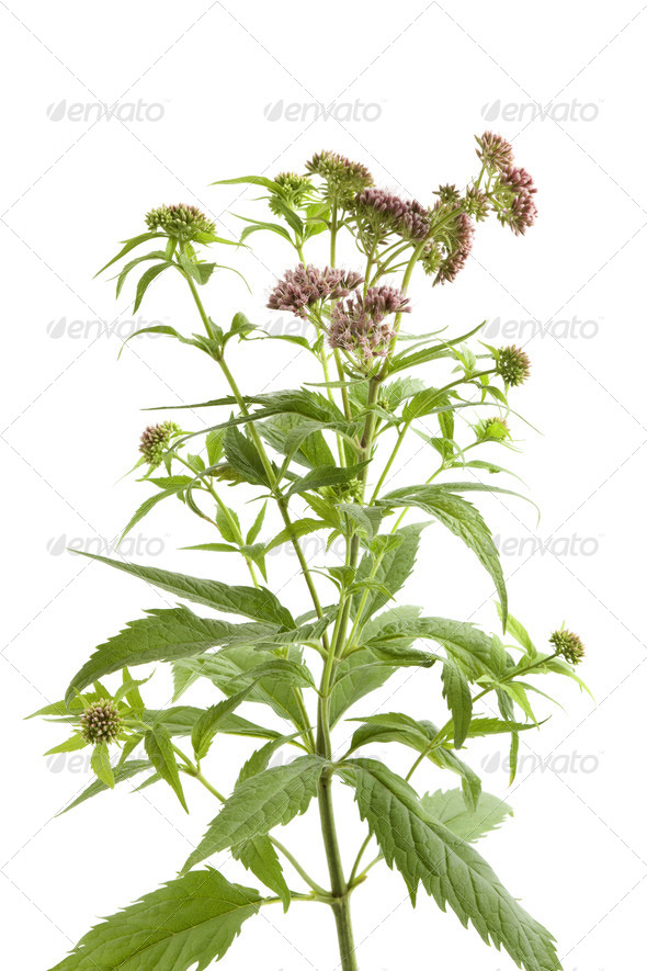 Flowering Hemp Agrimony - Stock Photo - Images