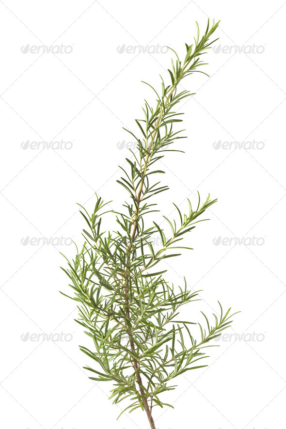 Branch of fresh rosemary - Stock Photo - Images