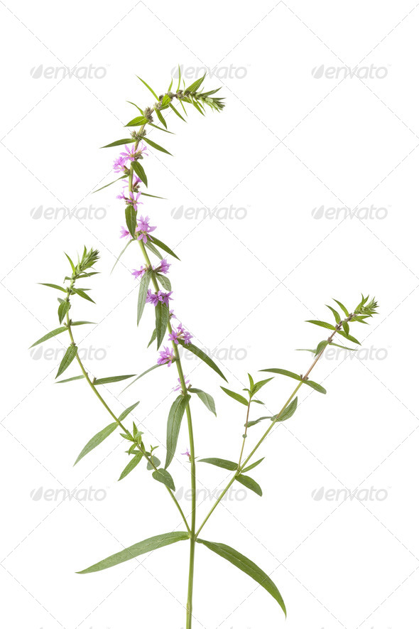 Purple loosestrife - Stock Photo - Images