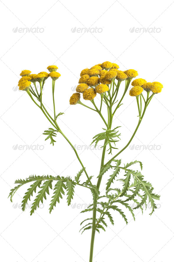 Common Tansy - Stock Photo - Images