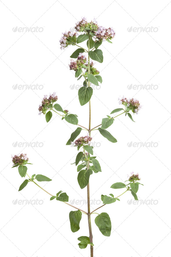 Fresh flowering oregano - Stock Photo - Images