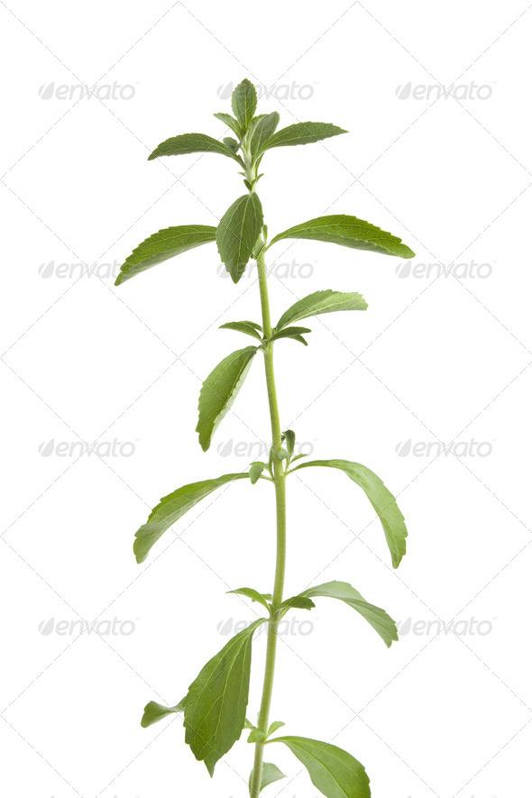Sweet leaf Stevia - Stock Photo - Images