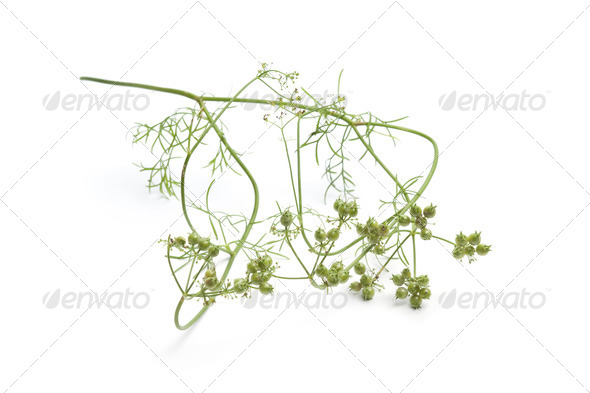 Fresh coriander seed on a sprig - Stock Photo - Images