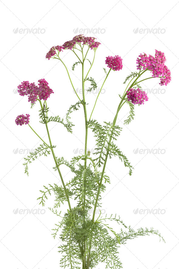 Flowering pink milfoi - Stock Photo - Images