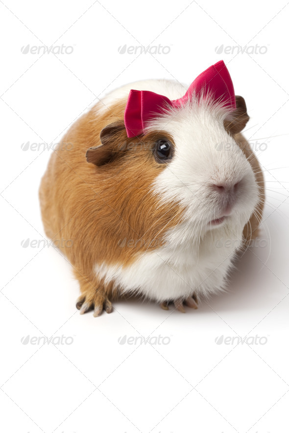 Guinea Pig with a pink bow on her head - Stock Photo - Images