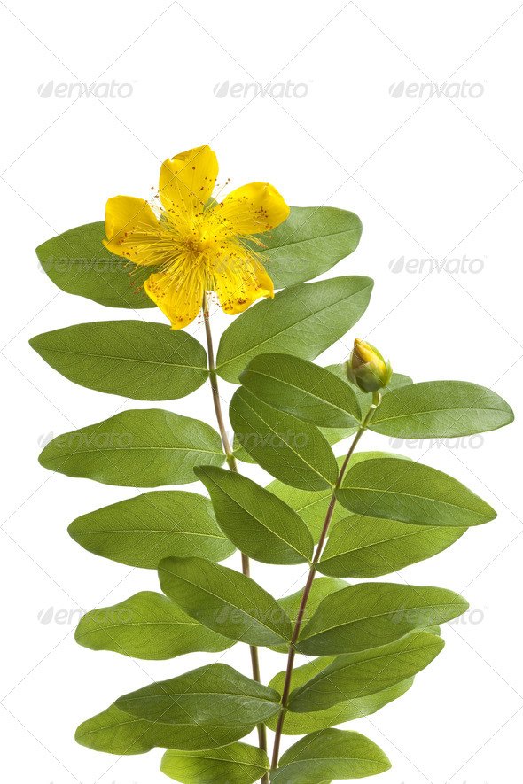 St John's wort flower and bud - Stock Photo - Images