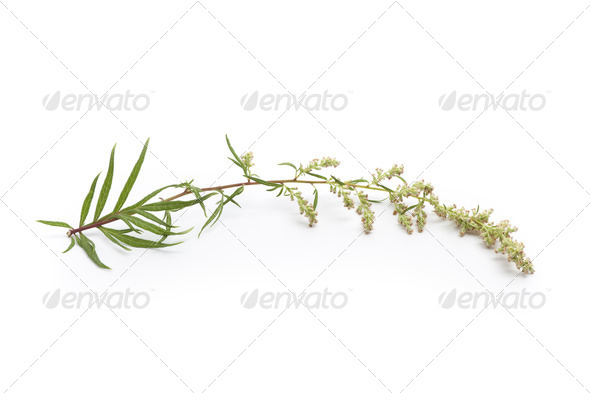 Mugwort - Stock Photo - Images
