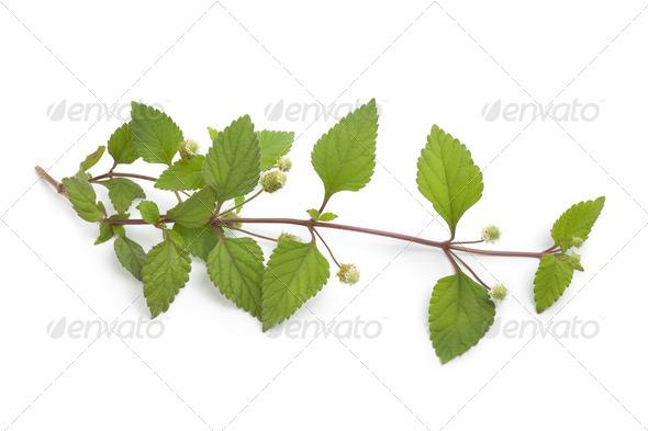 Sprig of flowering aztec sweet herb - Stock Photo - Images