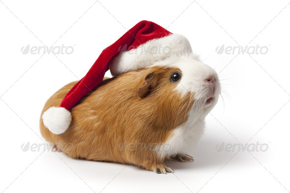 Guinea Pig with Christmas hat - Stock Photo - Images