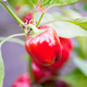 red bell peppers hanging on tree in farm - PhotoDune Item for Sale