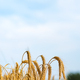 Spikelets of wheat in the sunlight. Wheat field - PhotoDune Item for Sale