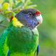 Australian Ringneck or Twenty-Eight Parrot Portrait - PhotoDune Item for Sale