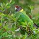 Australian Ringneck or Twenty-Eight Parrot - PhotoDune Item for Sale