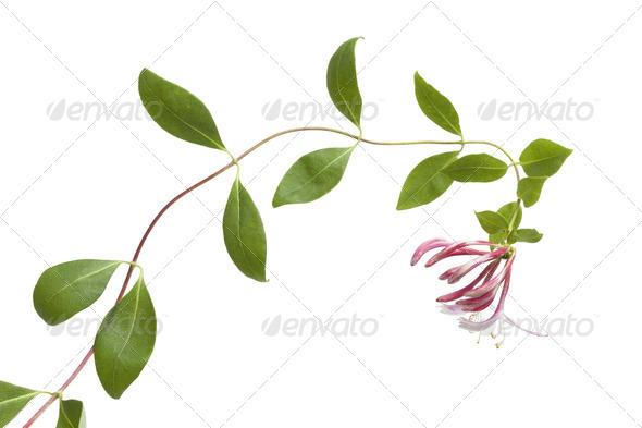Flowering pink Honeysuckle - Stock Photo - Images