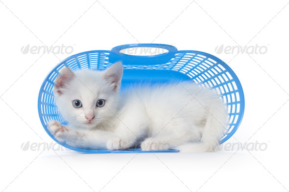 Cute white kitten with blue eyes in a blue plastic basket - Stock Photo - Images