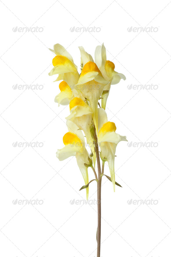 Flowering yellow Common Toadflax close up - Stock Photo - Images