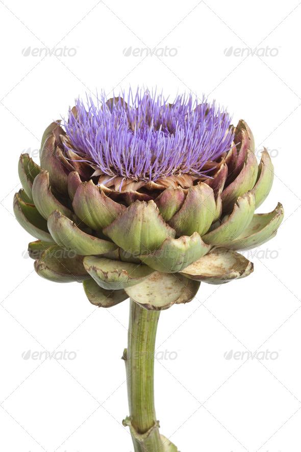 Purple artichoke flower - Stock Photo - Images