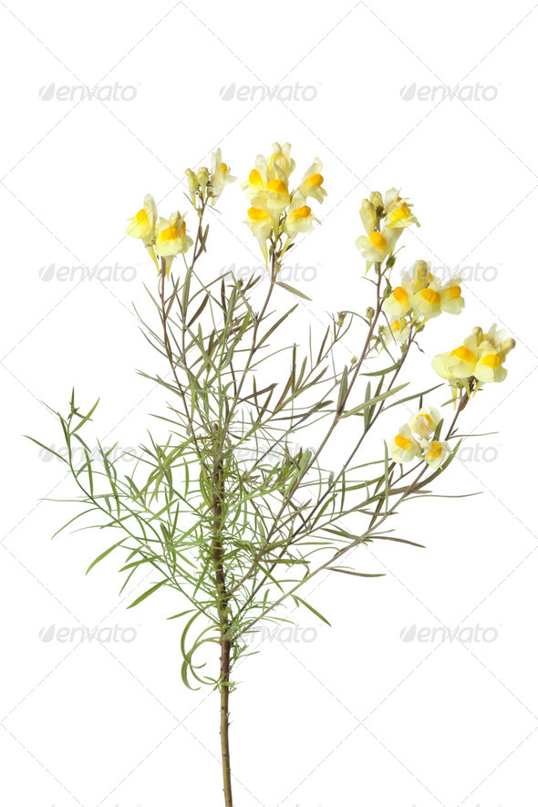 Sprig of yellow Common Toadflax - Stock Photo - Images