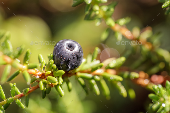 Blueberry antioxidants on a background of Norwegian nature. - Stock Photo - Images