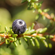 Blueberry antioxidants on a background of Norwegian nature. - PhotoDune Item for Sale