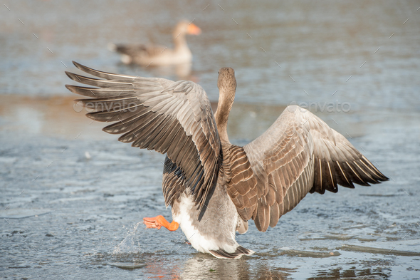 falling through thin ice - Stock Photo - Images