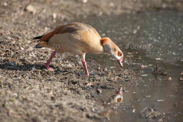 Egyptian goose reflection - Stock Photo - Images