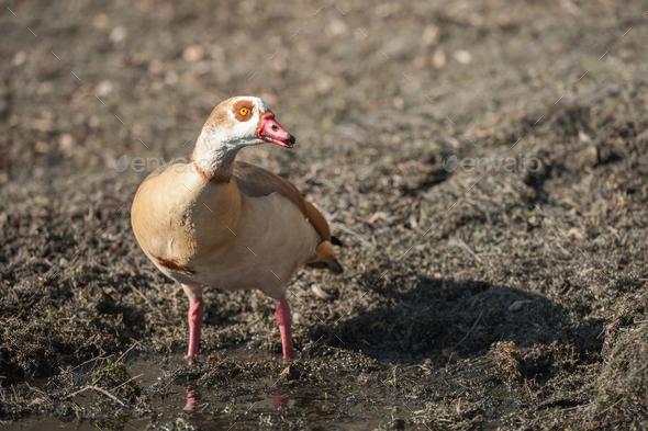 Egyptian goose closeup - Stock Photo - Images
