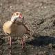 Egyptian goose closeup - PhotoDune Item for Sale