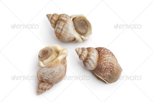 Whole fresh common whelk - Stock Photo - Images