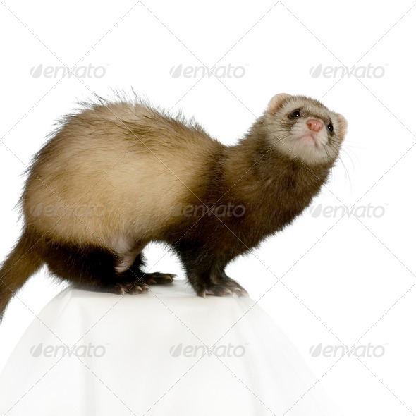 Ferret - Stock Photo - Images