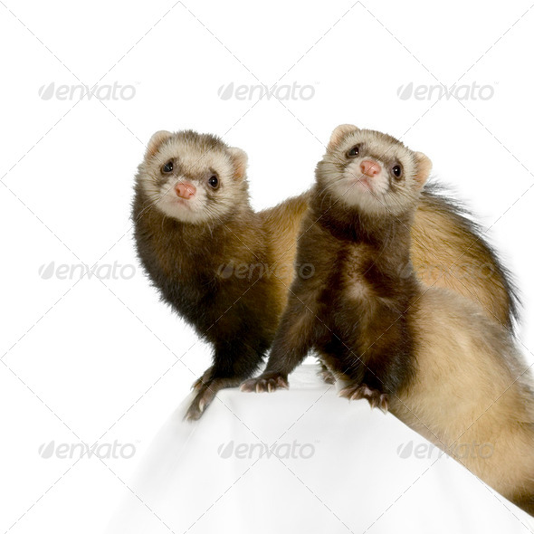 Ferret - Stock Photo - Images