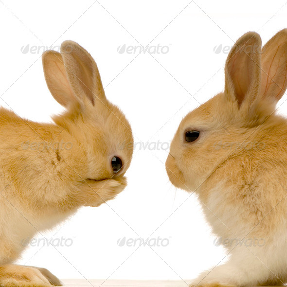 rabbits dating - Stock Photo - Images
