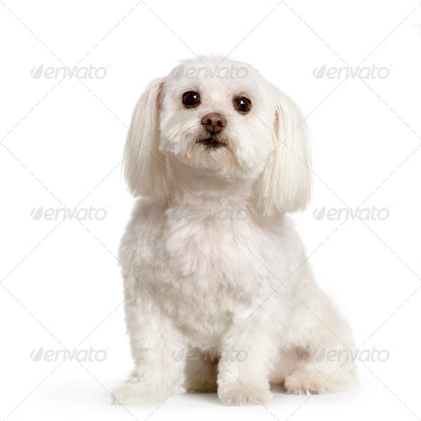 bichon maltais - Stock Photo - Images