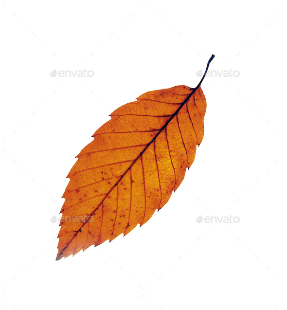 Autumn maple leafs isolated on white - Stock Photo - Images