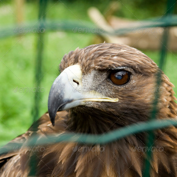 captive Eagle - Stock Photo - Images