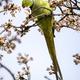view of green parakeet (Psittacula krameri) perching on blooming tree - PhotoDune Item for Sale
