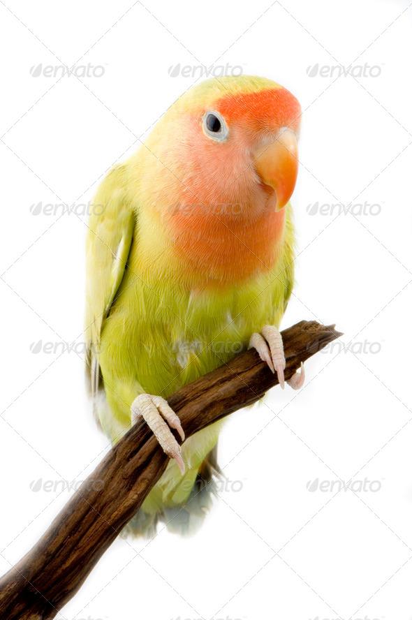 love bird - Stock Photo - Images
