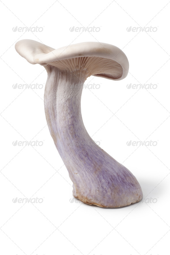 Whole single Pied bleu edible mushroom - Stock Photo - Images