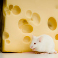 White Mouse - PhotoDune Item for Sale