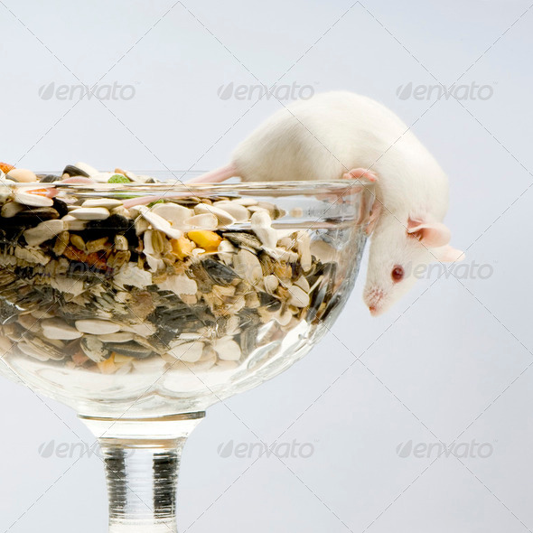 White Mouse - Stock Photo - Images