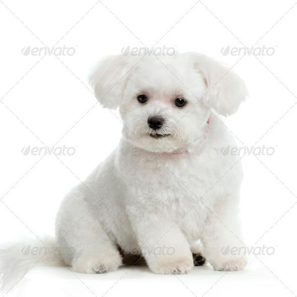 maltese dog - Stock Photo - Images