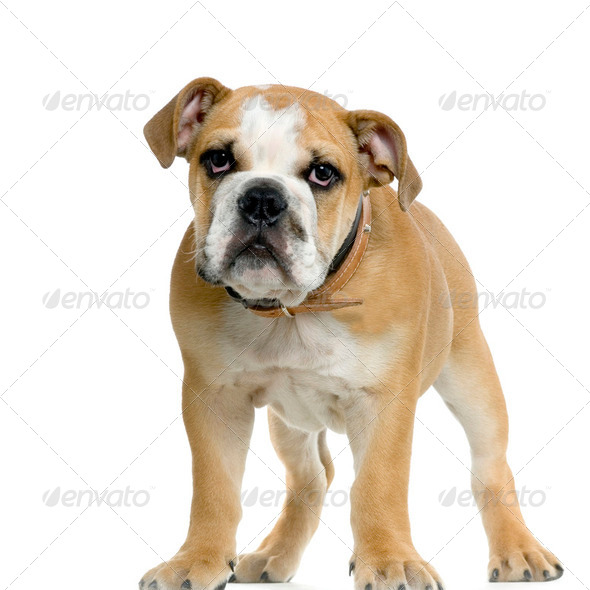Bulldog - Stock Photo - Images