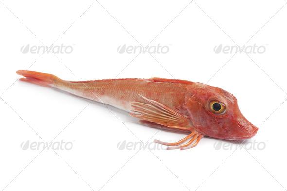 Whole single fresh red Tub gurnard fish - Stock Photo - Images