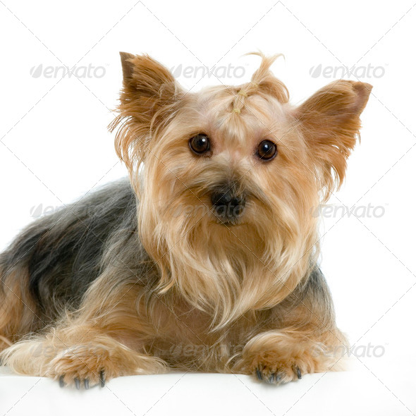 Portrait of yorkshire sitting in front of white background - Stock Photo - Images