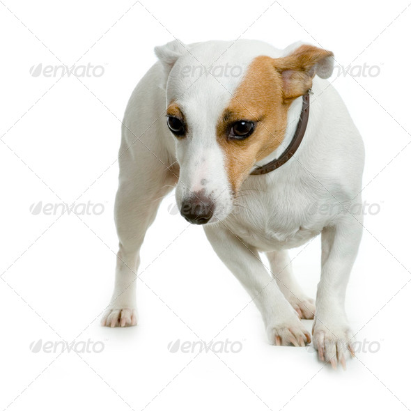 Jack russel - Stock Photo - Images
